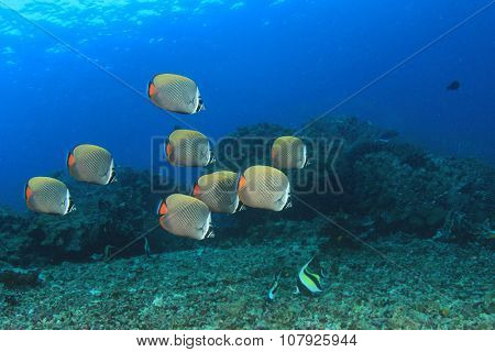 Fish school: Redtail Butterflyfish