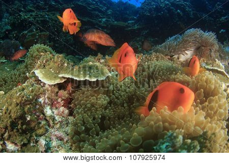 Tomato Anemonefish (Clownfish) (Nemo fish)