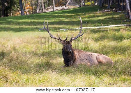 Noble big deer resting in the grass