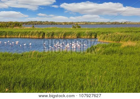 Sunset in the national park of Camargue in  delta of Rhone.  Flock of pink flamingos in the shallow lake