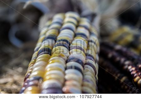 Flint Corn or Indian Corn close up