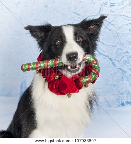 Border Collie Candy Cane