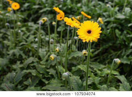 Budding And Blooming Yellow Gerbera Plants