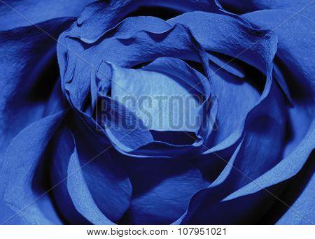 closeup macro of a dark blue rose