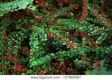 Beautiful berry bush, close up