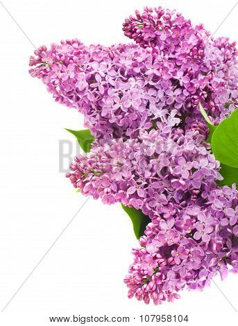 beautiful lilac flowers isolated on white
