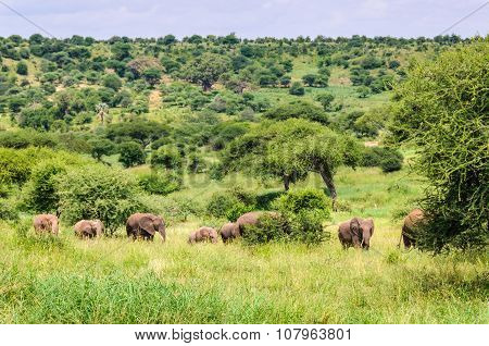 Marching Elephants In Tarangire Park, Tanzania
