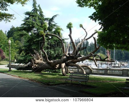 Bent and interlacing tree in Stanley Park, Vancouver