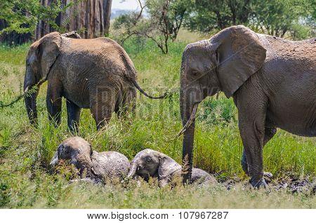 Resting Elephant Calves In Tarangire Park, Tanzania