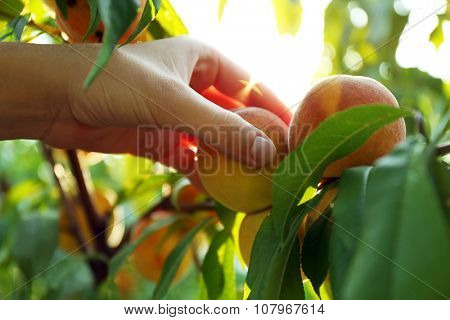 Female hand picking peach from tree