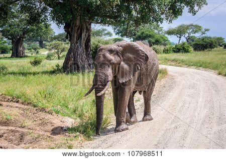 Muddy Elephant In Tarangire Park, Tanzania