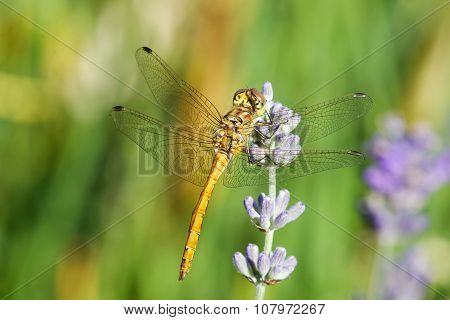 Yellow Dragonfly On A Violet Flower