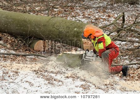 Lumberman Felling An Old Tree