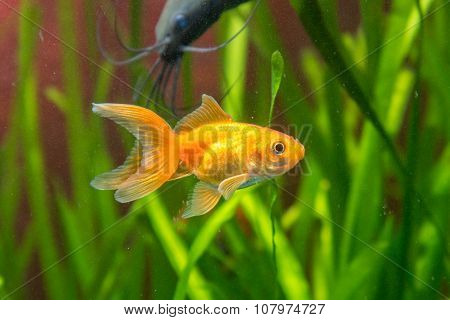 Goldfish In An Aquarium, With The Background Stinging Catfish And Plants