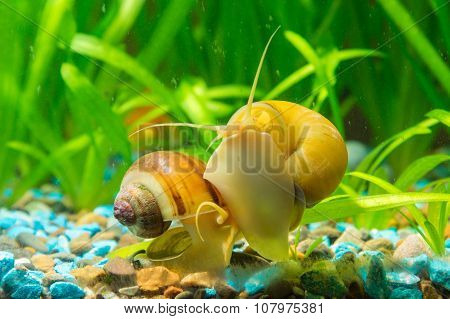 Two Snails Ampularia Yellow And Brown Striped Eat Algae On The Walls Of The Aquarium