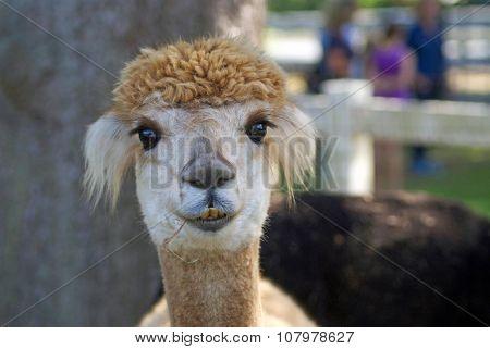 Alpaca in a Paddock