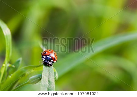 Natural Background With Place For Text. Ladybug Sitting On Grass.