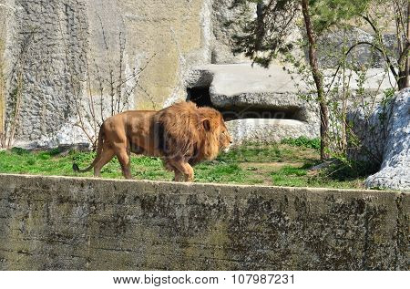 Male lion in Warsaw ZOO. Summer time.