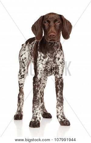 German Shorthaired Pointer Standing