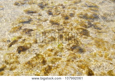 aquatic weed on the rock at the beach