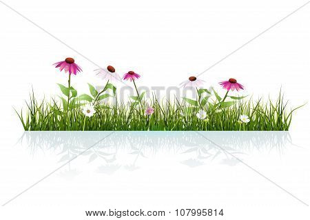 Green Grass And Echinacea Purpurea ( Purple Coneflower) Flower In Bloom And Leaves With Drops Dew Wi