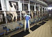stock photo of moo-cow  - automatic milking system AMS industry cow farm - JPG