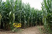 foto of corn stalk  - Entrance into field of corn that has been cut into the recreational adventure of a maze - JPG