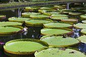 The lake in park with Victoria amazonica Victoria regia. Mauritius. poster