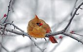 stock photo of fluffing  - Female American cardinal sitting on branch in winter - JPG