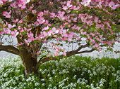 stock photo of dogwood  - Pink blooms adorn a Dogwood tree in spring - JPG