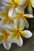 foto of hawaiian flower  - close up of yellow and white tropical plumeria  - JPG