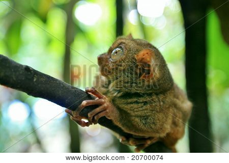 Tarsier On A Tree Branch In The Jungle