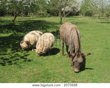 Donkey And Two Sheeps