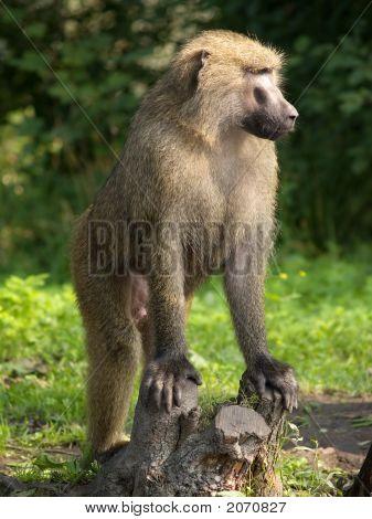 The Leader Of Monkeys