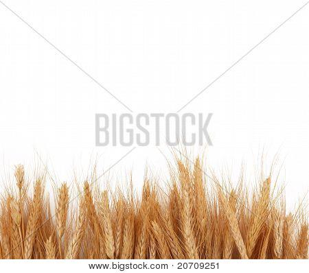 Wheat Stalks Boarder