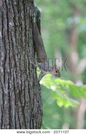 Grey Squirrel In Tree