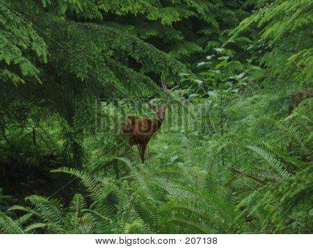 Hidden Deer