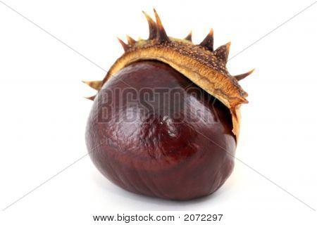 Autumnal Chestnut