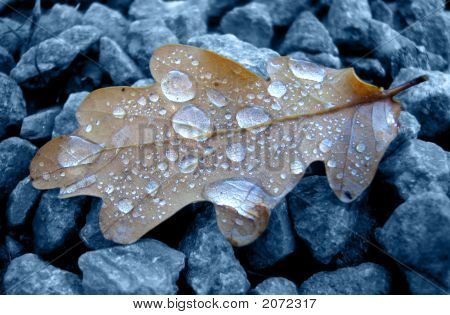 Oak Leaf With Raindrops
