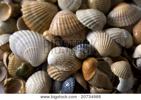 cockleshells background for great design