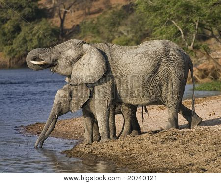 Mother an baby Elephant drinking water