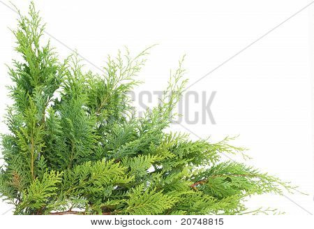 Evergreen Thuja