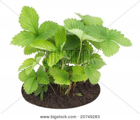 Young Sapling Of Wild Strawberry