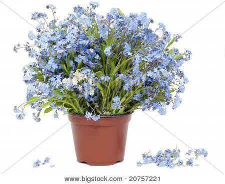 Big Bouquet From Forget-me-nots (myosotis)