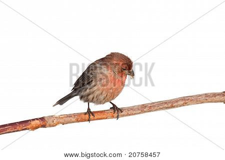 Finch Casts Aside A Safflower Seed Shell
