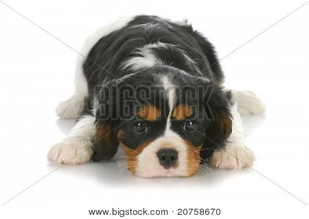 cute puppy - tri-color cavalier king charles puppy laying down on white background - six weeks old