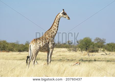 Giraffe in wilderness