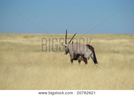 Oryx in wilderness