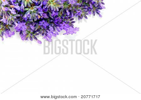 Lavender Flowers Over White Background