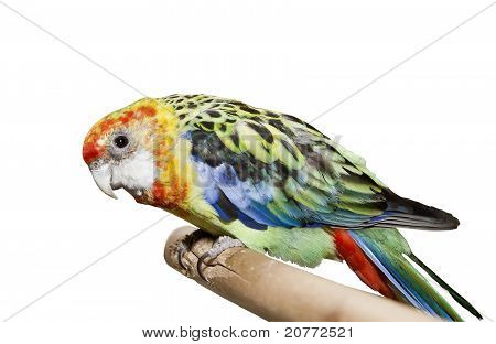 Little Color Parrot Over White Background